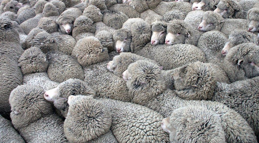 mediocrità pecore